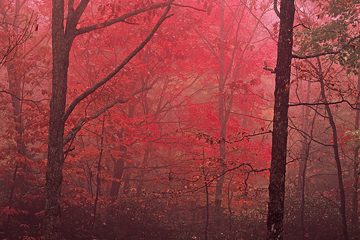 Misty Fall forest in shades of red