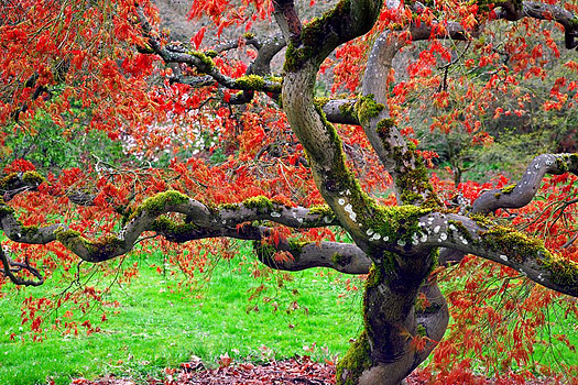 Gnarled mossy tree with red leaves