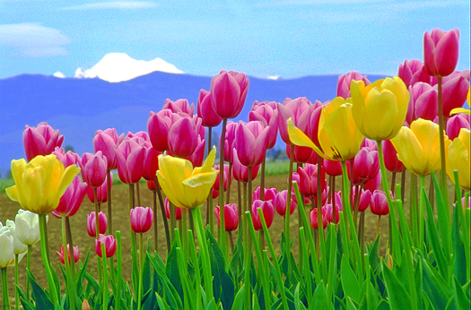 Pink and yellow tulips against snowy mountain background