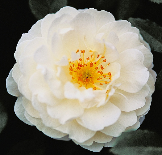Single white blossom with yellow center