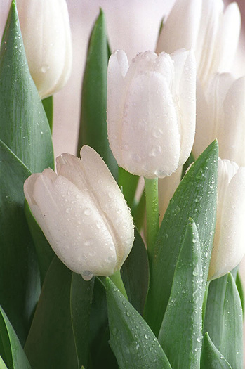 Closeup white tulips with water drops