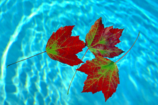 Three Autumn leaves in blue water