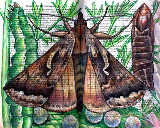 Alfalfa Looper Moth (Autographa californica) by Fred Smith