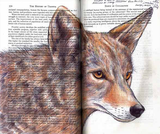 Coyote (Canis latrans) by Fred Smith