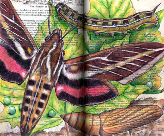 White-Lined Sphinx Moth (Hyles lineata) by Fred Smith