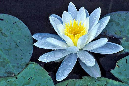 Lily Pad Flower