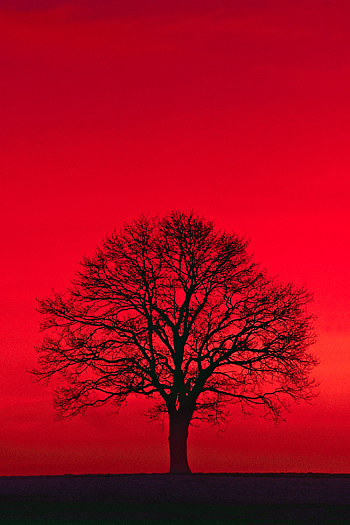Silhouetted black tree on red background