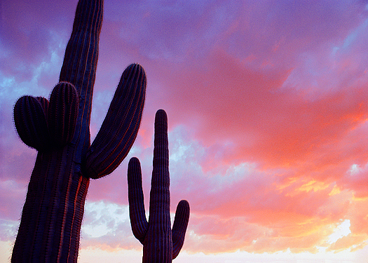 Two Saguaro cacti at sunrise