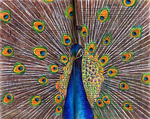 Indian Blue Peacock (Pavo, Afropavo) by Fred Smith