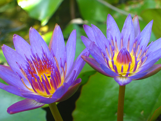 Tropical water lilies - purple