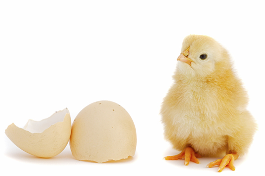 Adorable baby chick and egg