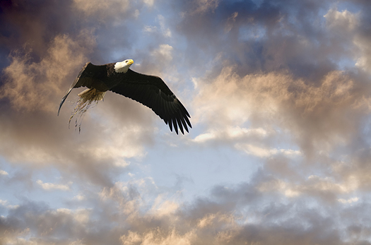Eagle with nesting grass