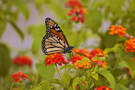 Monarch Butterfly on Orange Lantana