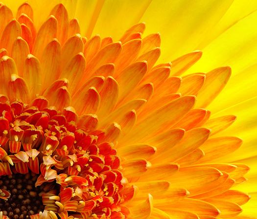 Closeup of a Gerbera Daisy