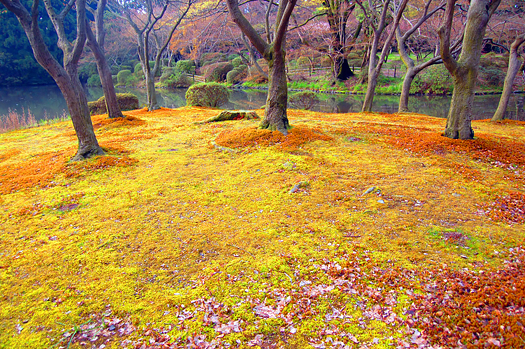 Japanese garden with yellow groundcover