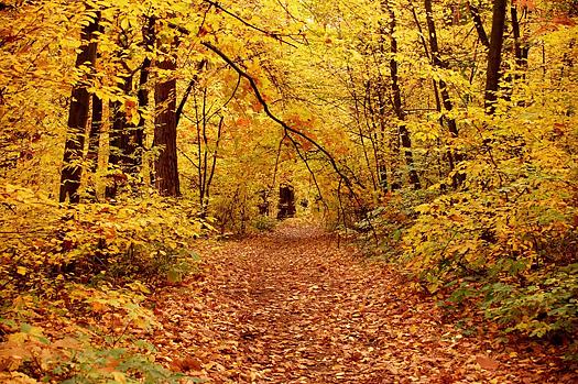 Leafy path through Fall forest