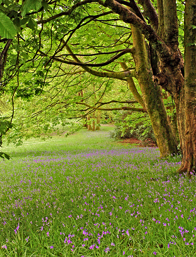 meadow of bluebells under trees