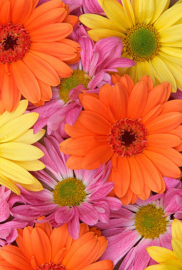 Close-up of yellow, orange and pink daisies
