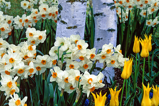Grouping of white daffodils and yellow tulips against aspen trees