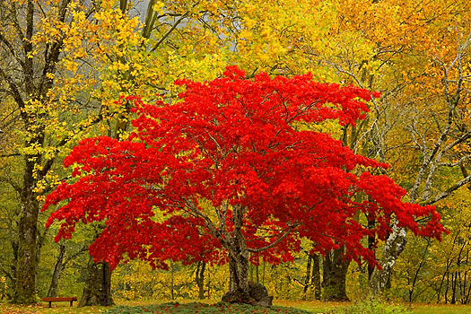 A red Fall tree amid yellow trees