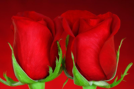 Closeup of two red rosebuds on a red background