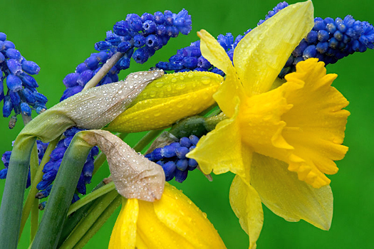Closeup of yellow daffodils and grape hyacinth