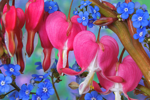 Closeup of pink bleeding hearts and blue periwinkle