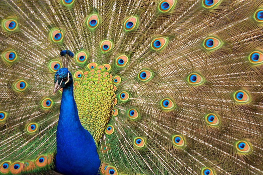 A peacock with his tail arrayed