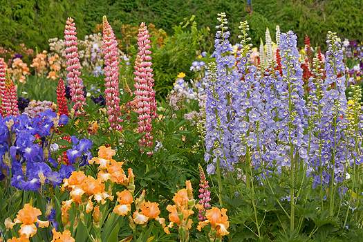 Rec and blue lupins with yellow and purple mountain iris