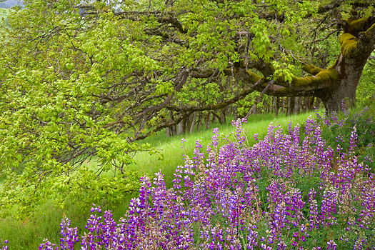A clump of purple flowers by a tree in a green Summer field