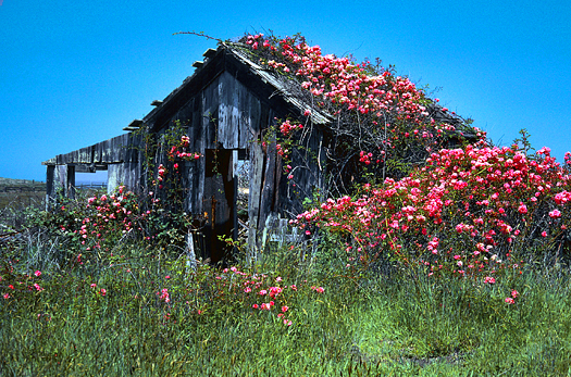 An old cabin covered in pink-flowered vines