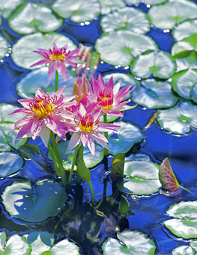 Pink lotus blossoms amid lily pads in a pond