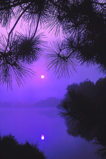 Full moon seen through purple mist and overhanging pine boughs