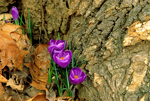 The first purple crocus of Spring at the base of a tree in the forest
