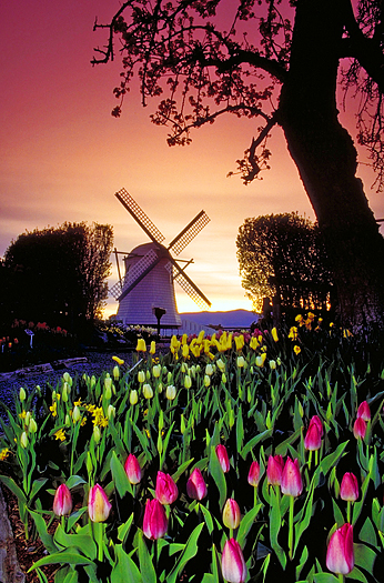 Holland windmill with tulips in the foreground