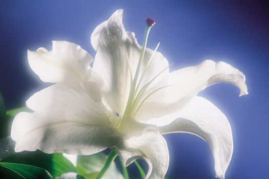 Closeup of a white flower in soft focus