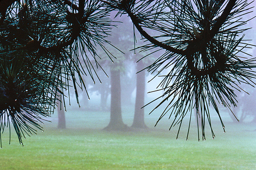 Misty stand of trees framed by pine branches