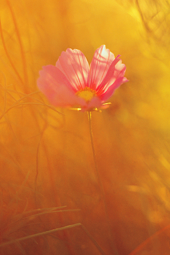 A single pink flower against a background of misty yellow and orange