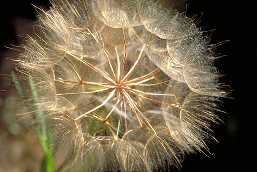 Salsify flower puffball
