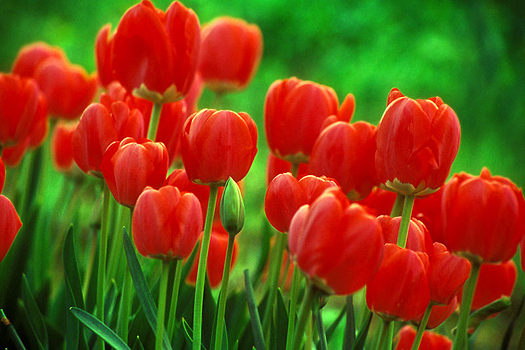 Red Tulips by Don Paulson