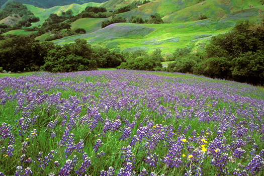 Lupine Field by Don Paulson