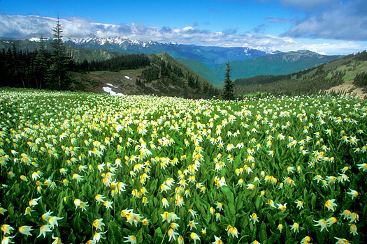 Avalanche Lily Hill by Don Paulson