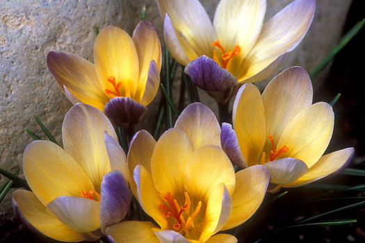 Crocus by Don Paulson