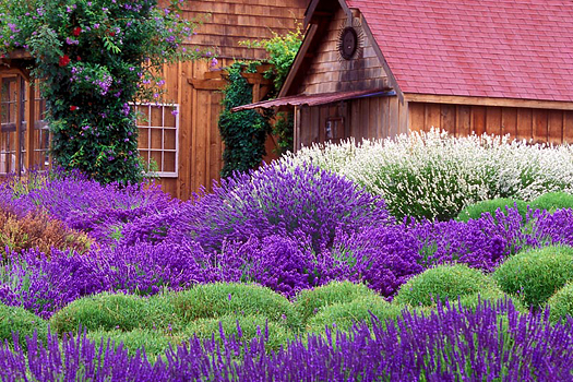 Purple Haze Lavender by Don Paulson