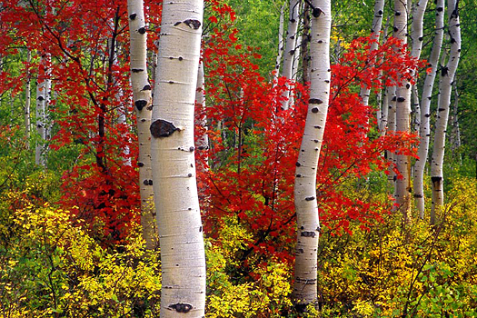 Aspen Maple by Don Paulson
