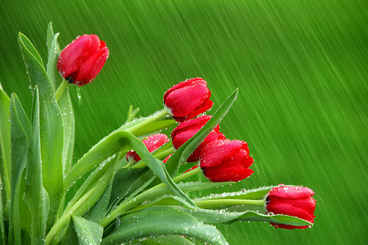 Red tulips in the rain by Don Paulson