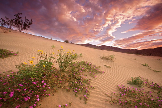 Wildflowers, Anza Borrego State Park