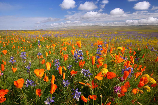 Flowers, Carrizo Plain National Monument, CA by Don Paulson