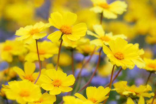 Coreopsis, Carrizo Plain National Monument, CA by Don Paulson