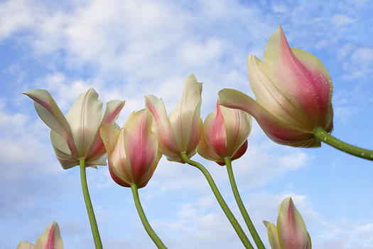 Pink Tulips by Don Paulson